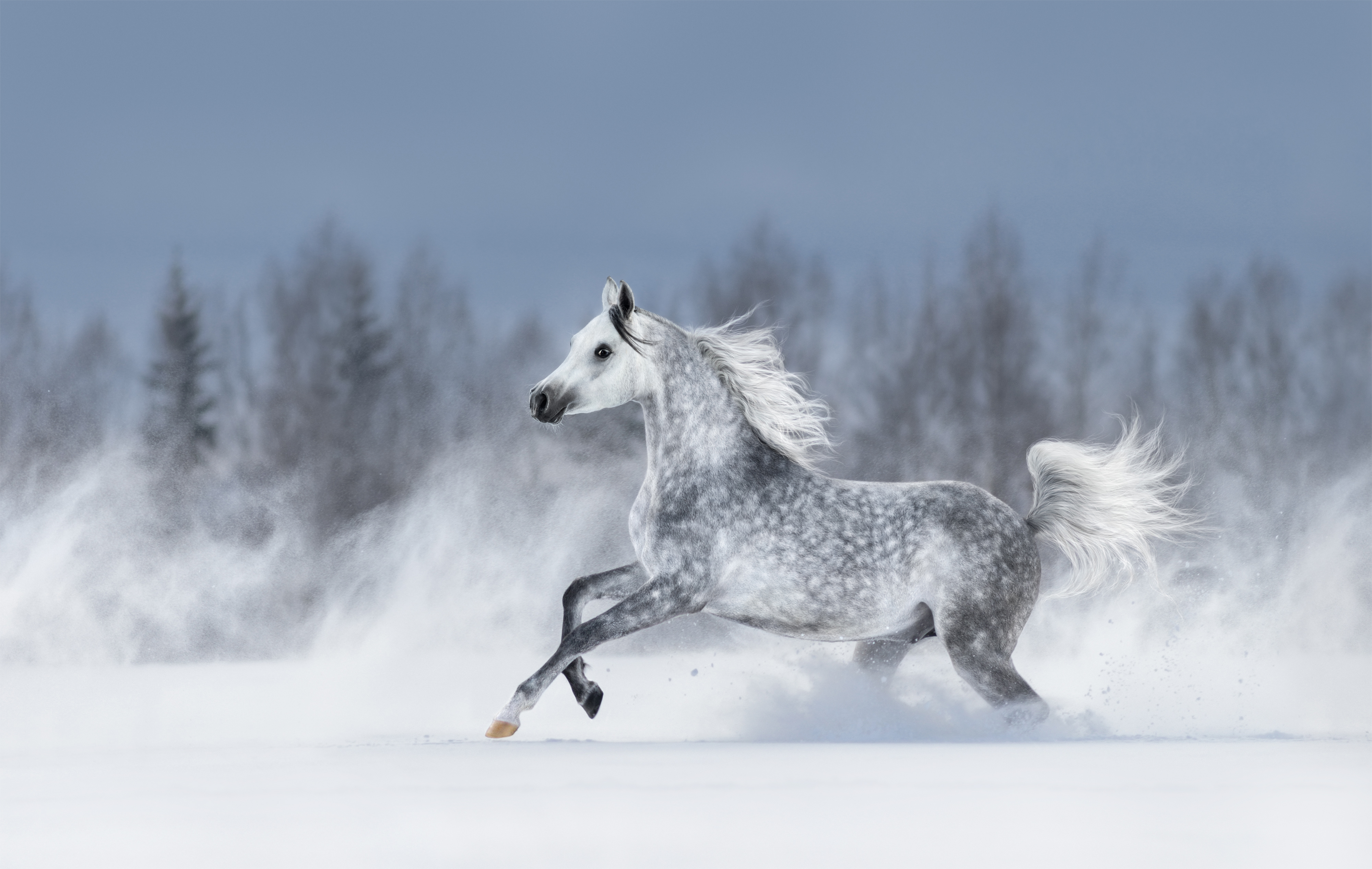 Purebred grey arabian horse galloping during blizzard across winter snowy field. Side view.